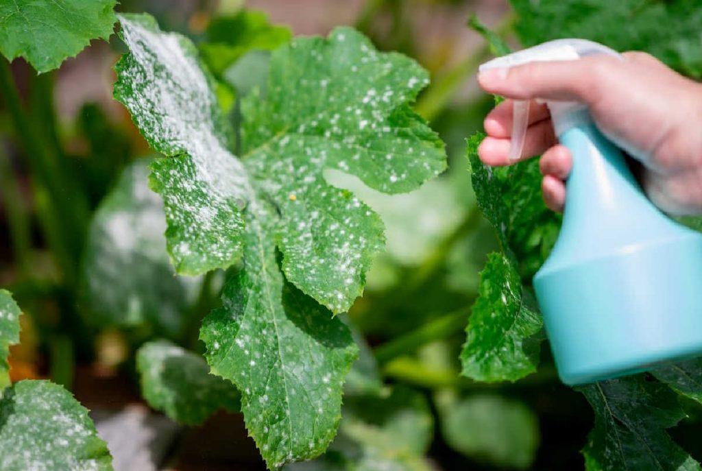 blue spray bottle spraying powdery mildew on a leaf.