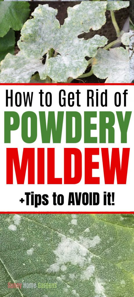 """top is a leaf with covered in powdery mildew, middle says """"How to get rid of powdery mildew +tips for avoid it!"""" and bottom is a picture of a closeup spot on a leaf with powdery mildew."""