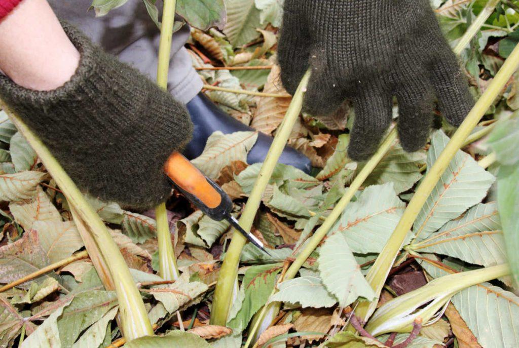 Hands pruning peony stem.