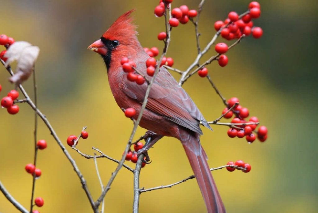 Northern cardinal perched on branches with red berries around it.