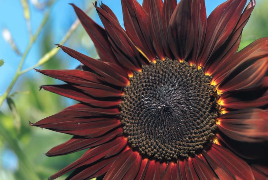 Big brownish color sunflower.