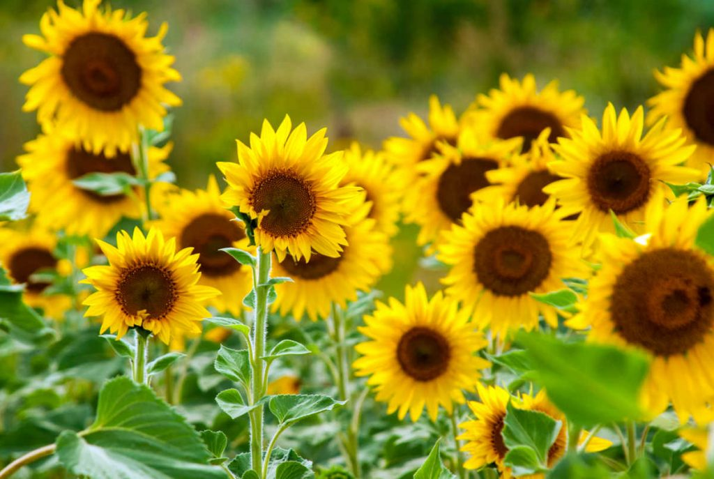 sunflowers in bloom.