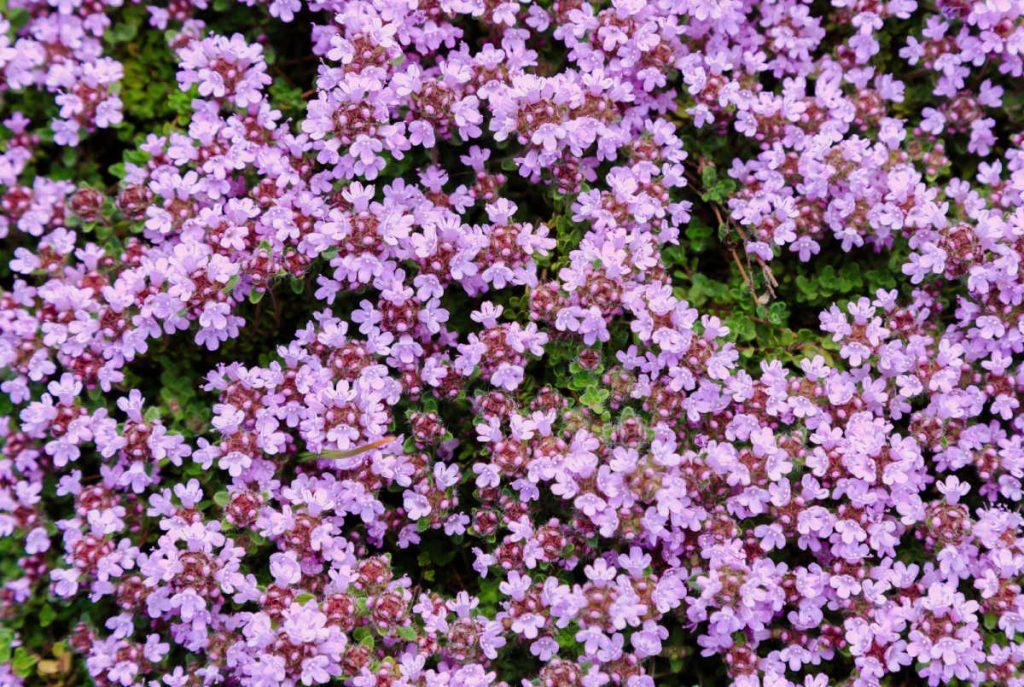 Thyme flowers in bloom.