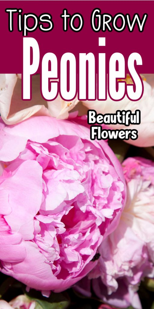 """Top says """"Tips to grow peonies: beautiful flowers"""" and the bottom is a closeup picture of peony flowers."""