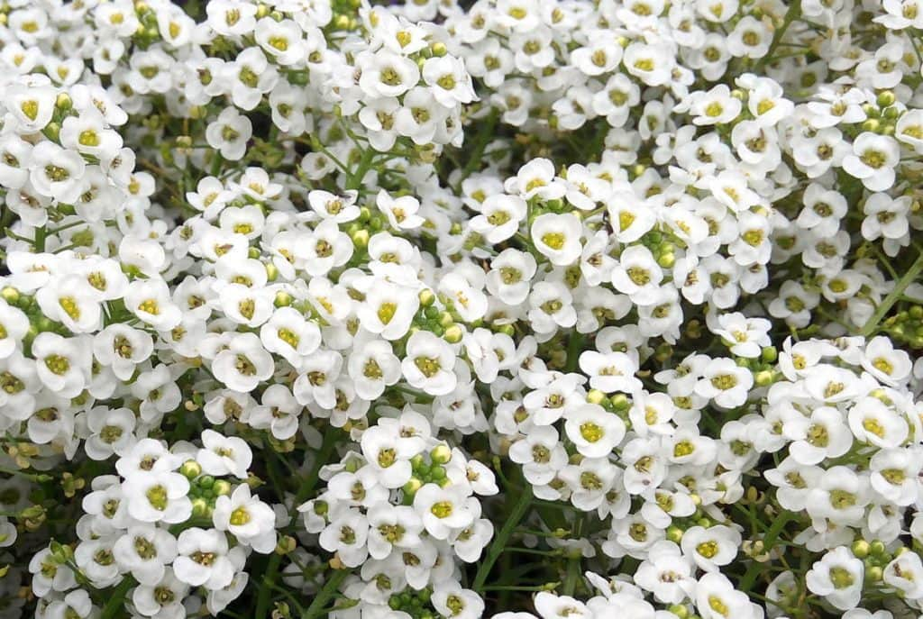 Many white alyssum flowers.