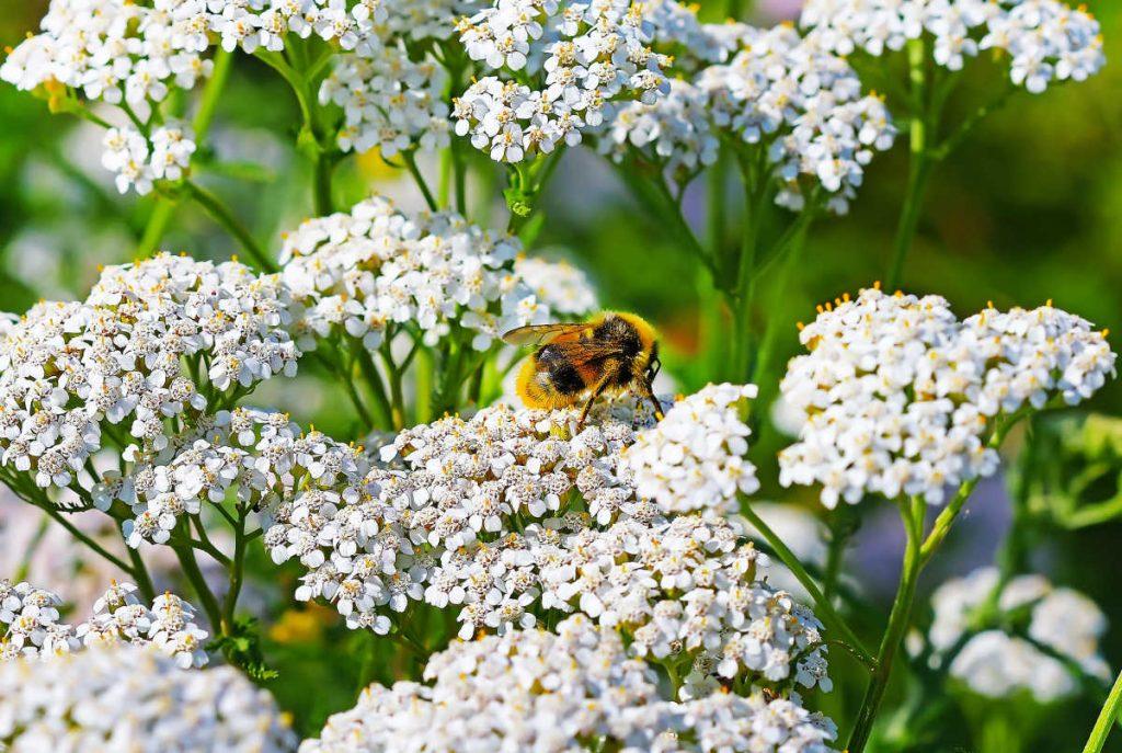 White yarrow flowers.