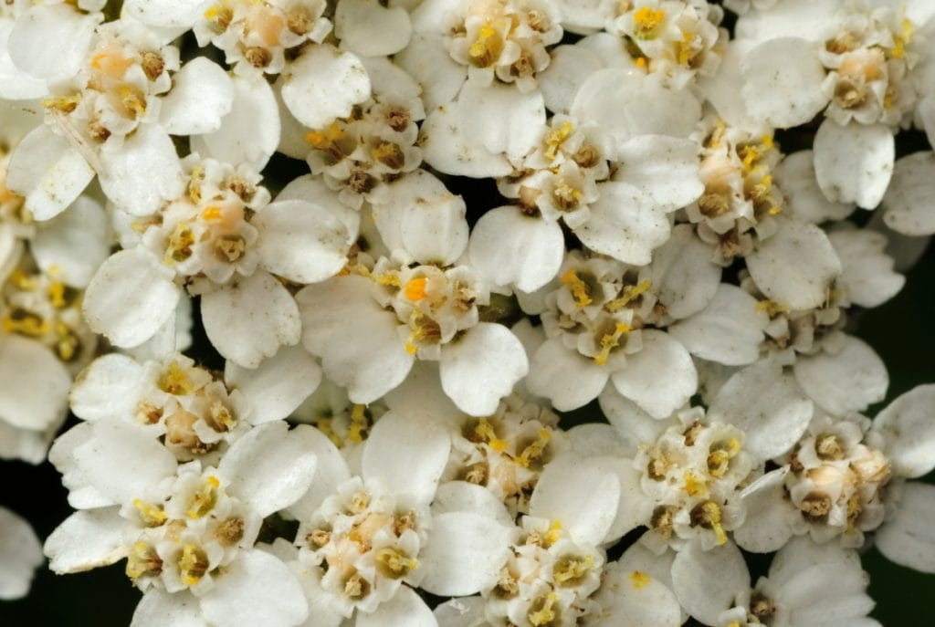 Closeup white yarrow flowers.