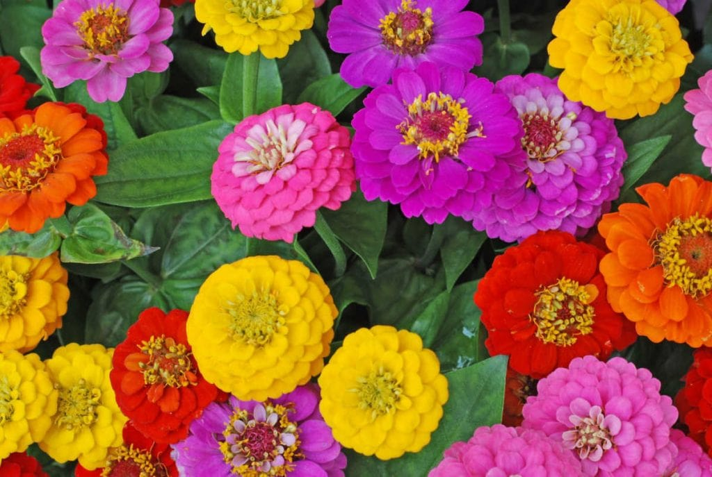 Zinnia flowers in purple, pink, red, orange, and yellow.