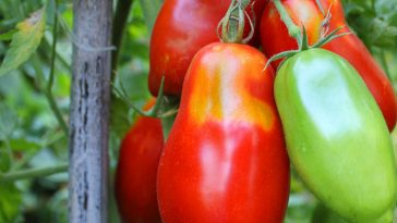 roma tomatoes ties to a wooden stake.