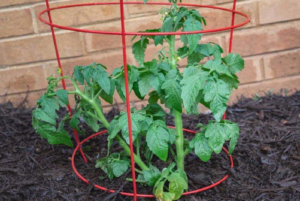 tomato plant in a red wire tomato cage.