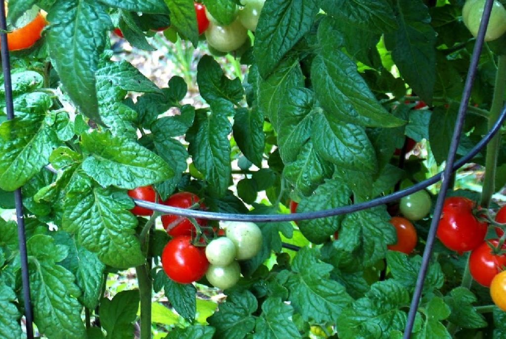 tomato plant growing out of a tomato cage.