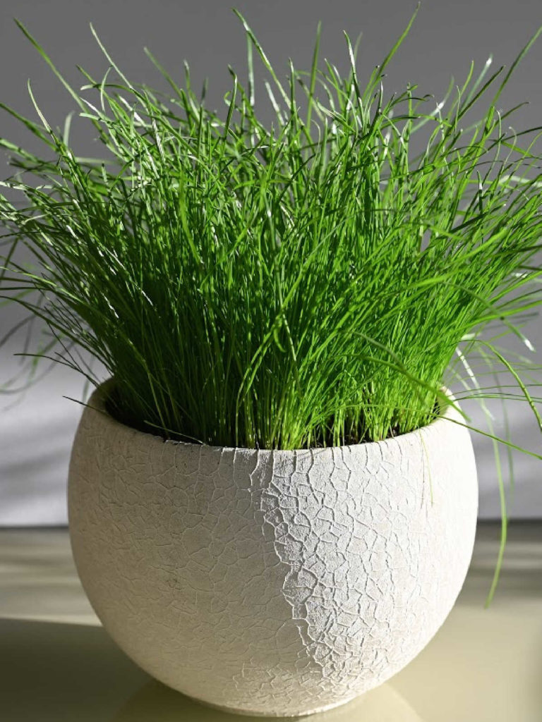 Lemongrass growing in pot.