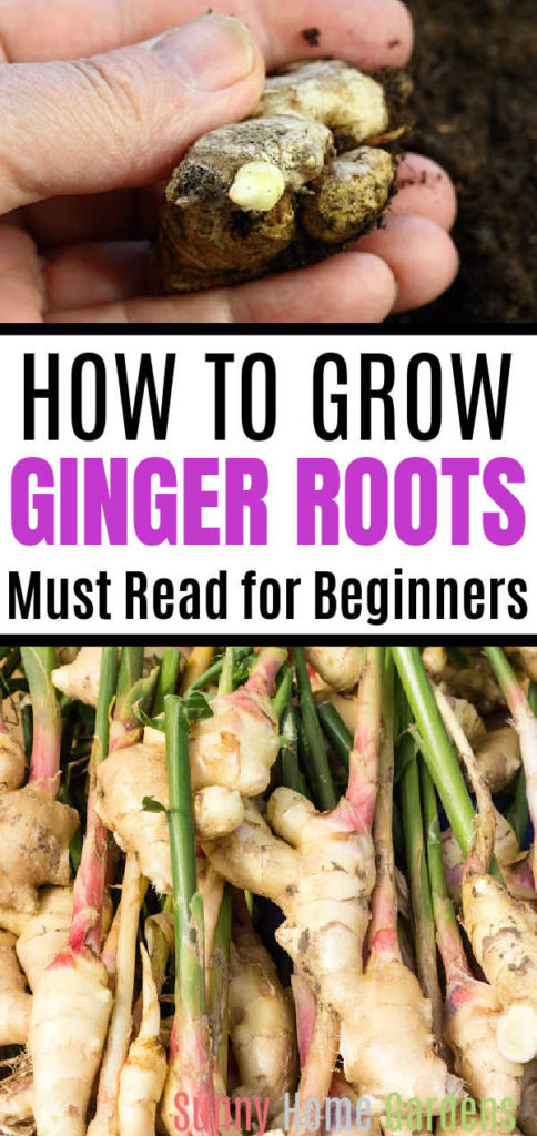 """Pin image: top has a ginger root with a nub growing, middle says """"how to grow ginger roots: must read for beginners"""" and bottom has a bunch of ginger roots."""