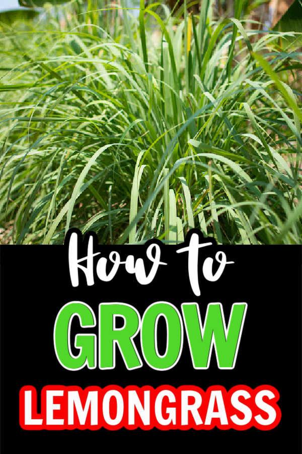 "Top pic has lemongrass growing, bottom says ""how to grow lemongrass""."