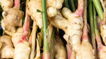 Ginger roots with plant stems still attached.