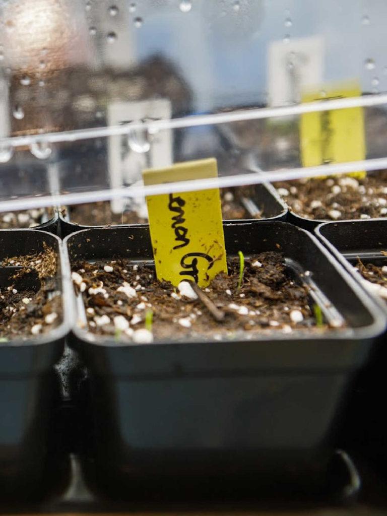 Lemongrass seedlings in seedling pots.