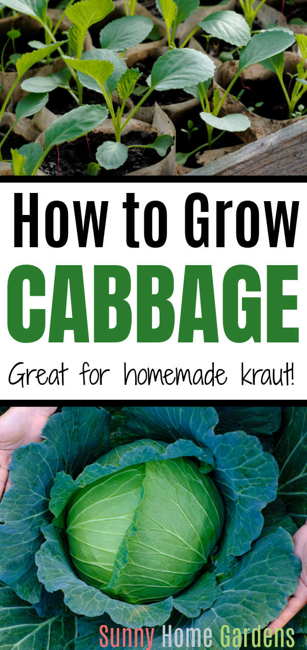 """Top is a pic of seedlings, middle says """"How to Grow Cabbage: Great for homemade kraut!"""" and bottom is a head of cabbage."""