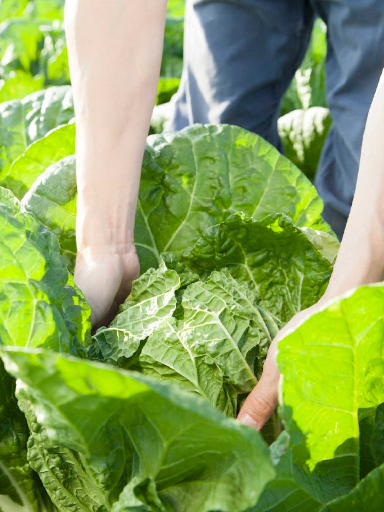 Large cabbage with hands inside the outer leaves.