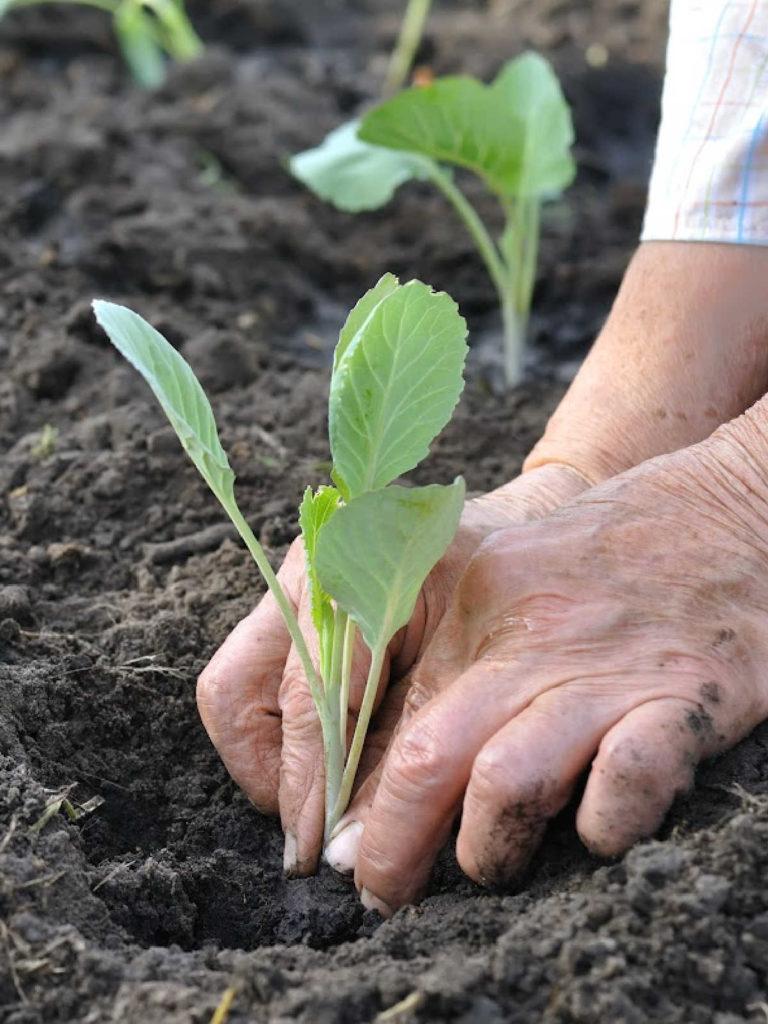 cabbage seedling being transplanted.