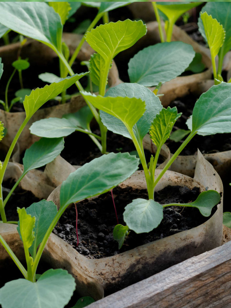 Cabbage seedlings in box.