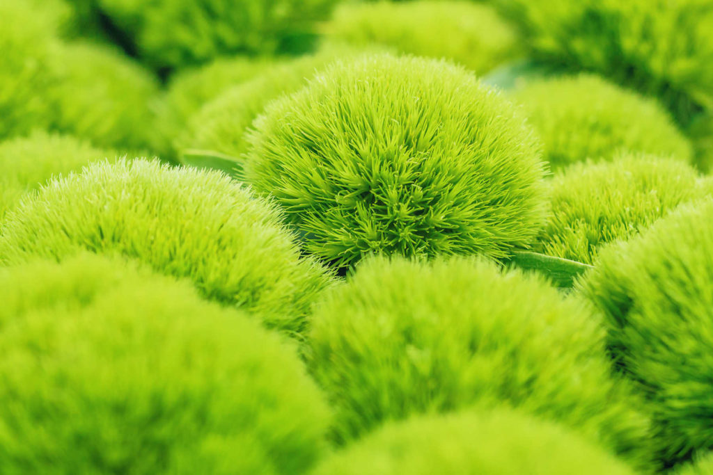 Dianthus barbatus - green tick flowers.