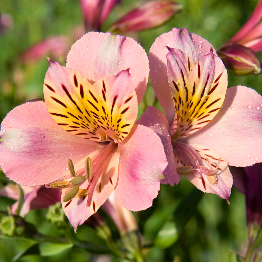 Pink persian lilies