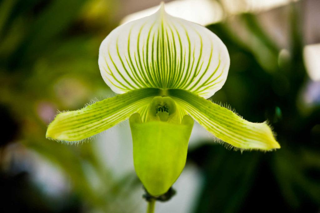 Green lady slipper orchid flower in bloom.