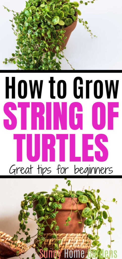 """Pin image: Top and bottom string of turtles plants, middle says: """"How to grow string of turtles: great tips for beginners""""."""