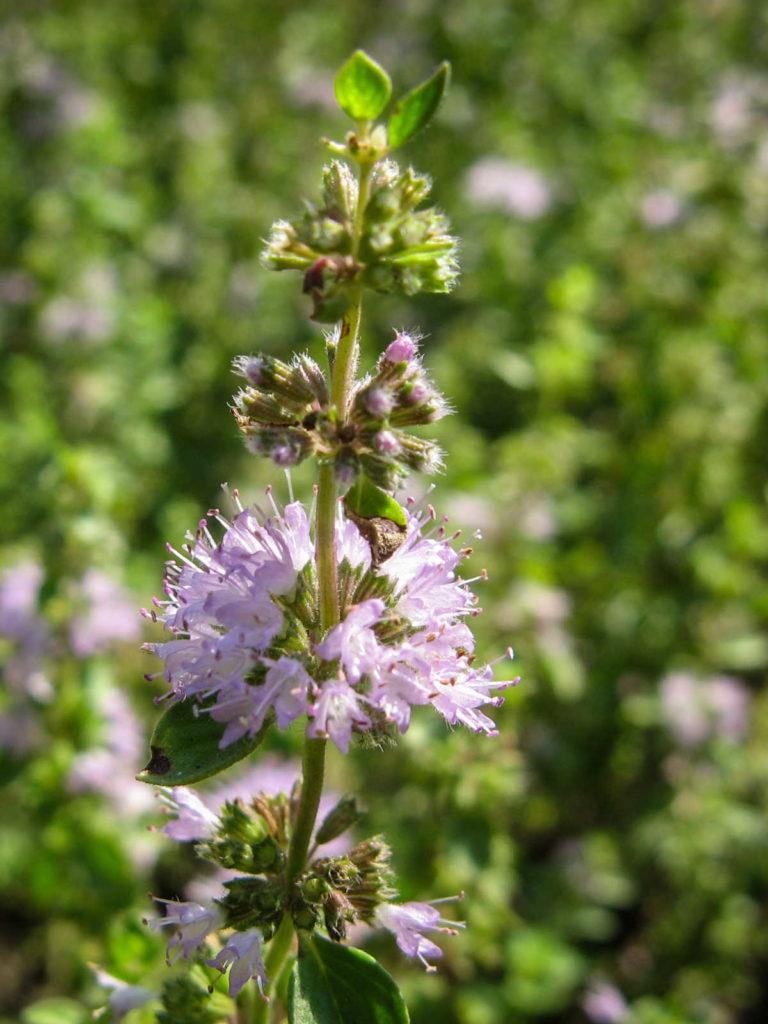 Closeup of pennyroyal flower.