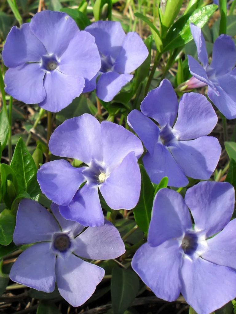 Periwinkle flowers.
