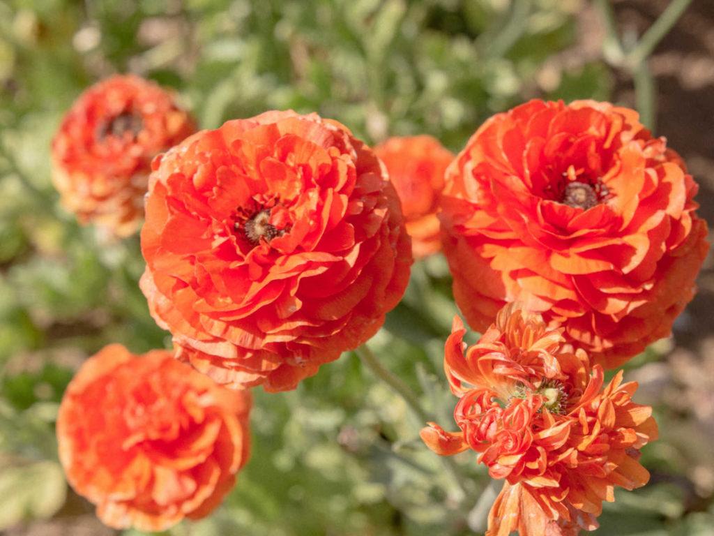 Persian Buttercup flowers.
