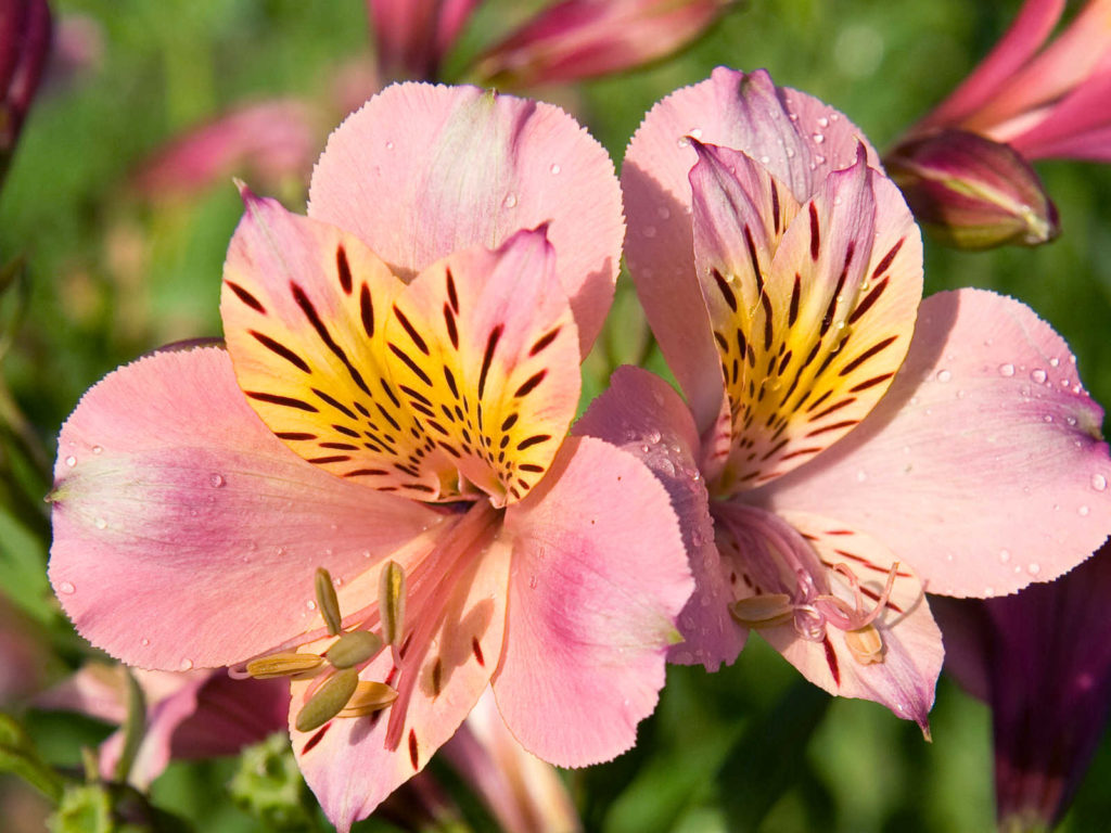 Persian Lily flowers.
