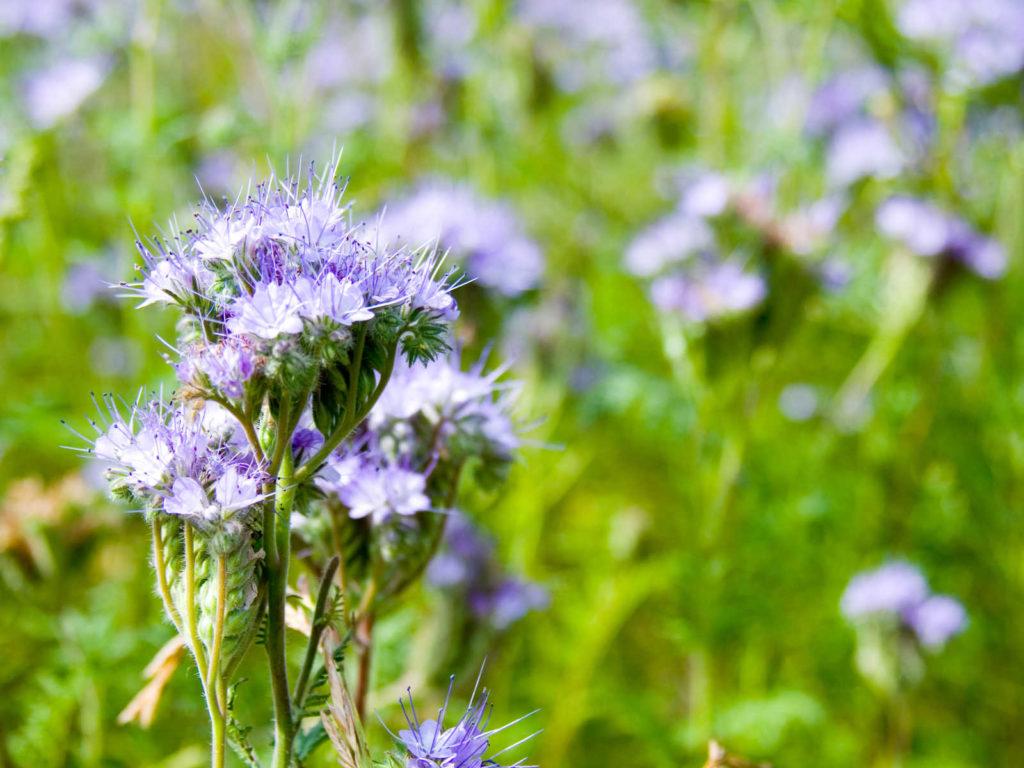Phacelia flowers.