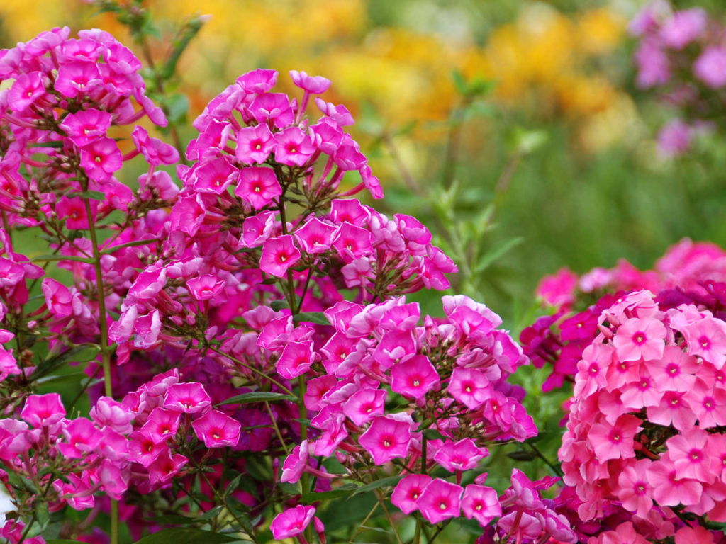 Phlox flowers.