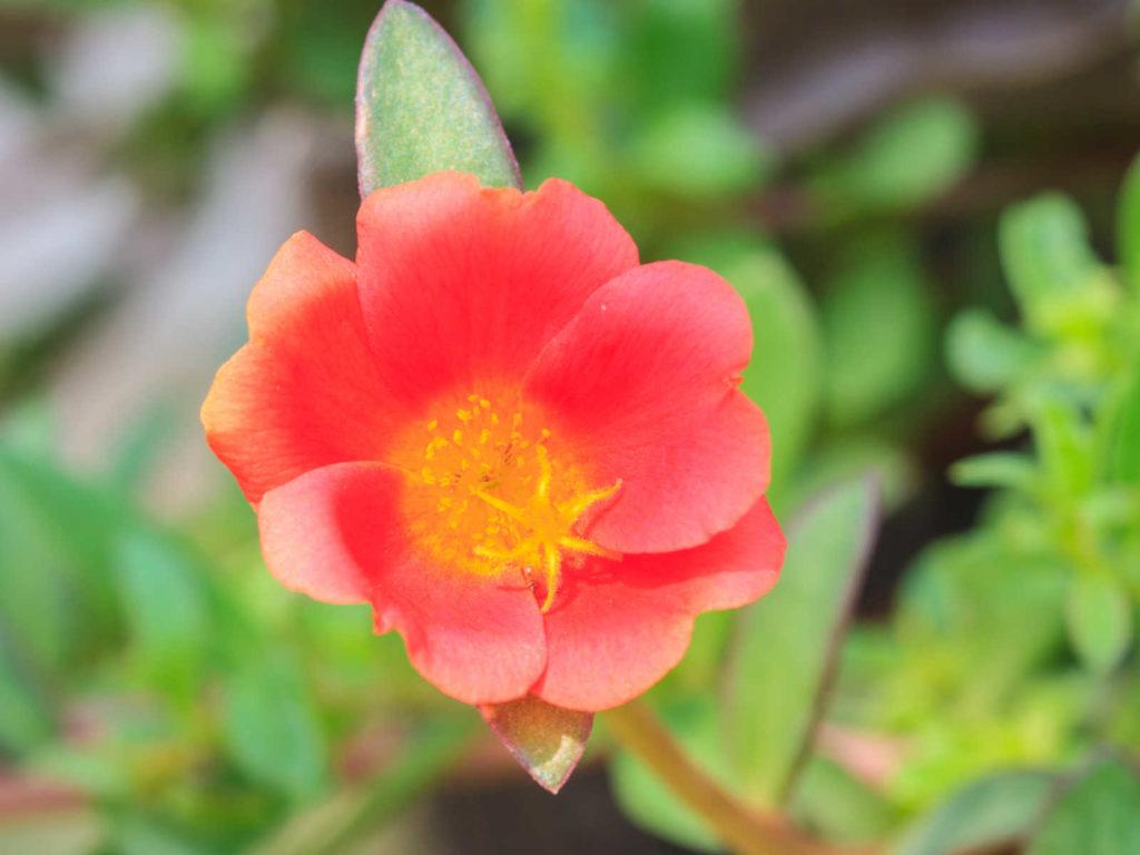 Portulaca flower.