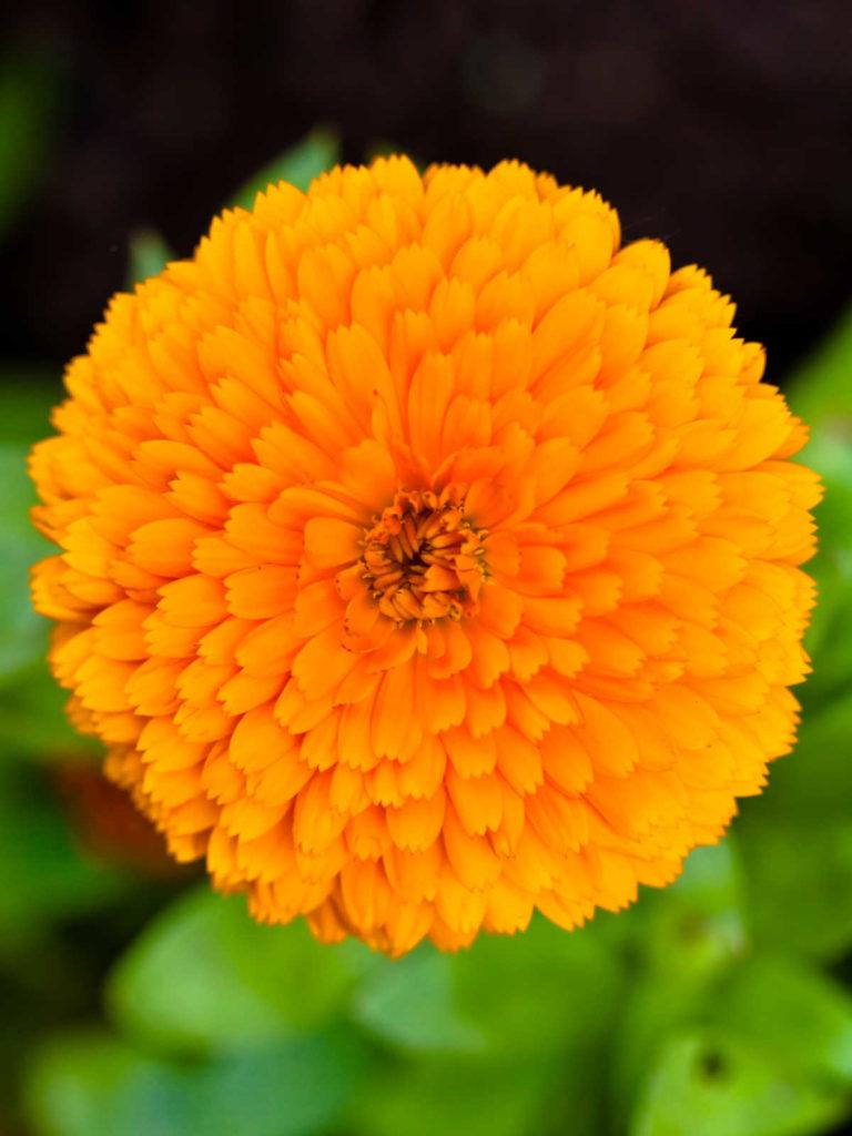 Pot marigold flower.
